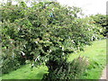 Wishing Tree on the path to Loughcrew