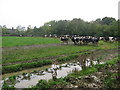 Cows at Randalstown, Co. Meath
