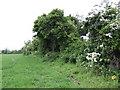 Hedgerow east of the R108 near Calliaghstown