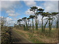 Scots Pine and Railway at Knocknagin
