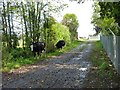 Cattle on the loose