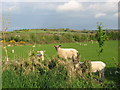 Lambs at Cloghan, Ardcath, Co. Meath
