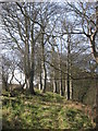 Beech trees at Corballis